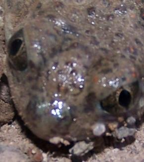 Toad Eyes